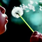 Girl (8-10) blowing seeds off dandelion, close up, side view